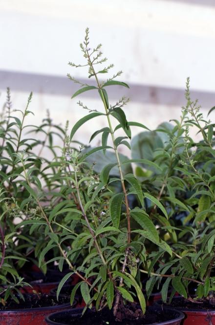 Verveine citronnelle. Aloysia citriodora