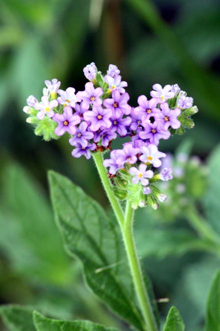 Fleurs : Heliotropium amplexicaule. Verveine marron