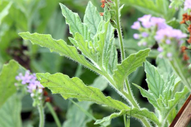 Feuilles : Heliotropium amplexicaule