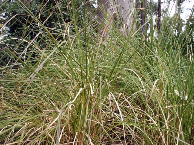 Vétiver, Chrysopogon zizanioides, Plante aromatique de La Réunion
