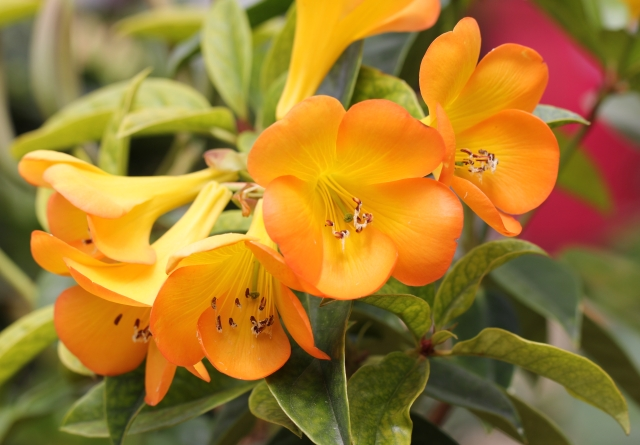 Vireya. Rhododendrons Vireya.