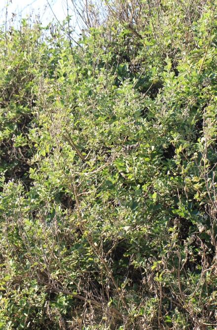 Vitex trifolia L.
