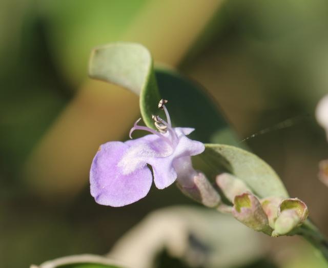 Vitex trifolia L. Fleur.