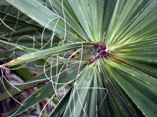 Palmier de Washington ou Palmier de Californie, Washingtonia filifera