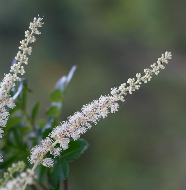 Weinmannia tinctoria Sm. Fleurs.