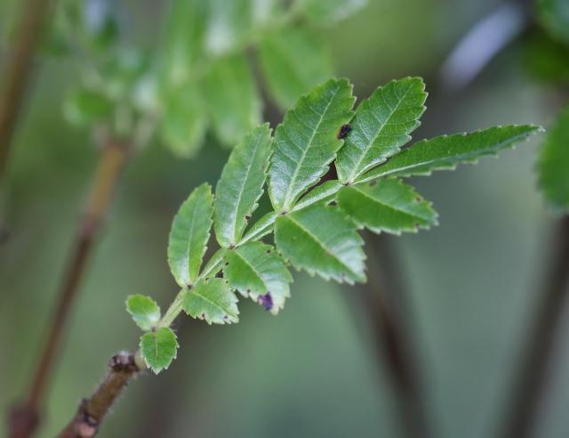 Weinmannia tinctoria Sm. Feuilles.