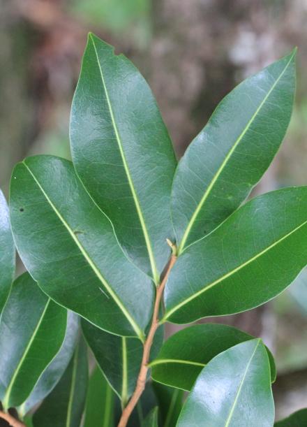 Xylopia richardii Boivin ex Baill. Bois de banane.