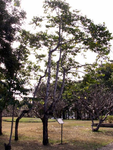 Ylang ylang cananga odorata photo flore la r union n 2131 for Plante ylang ylang