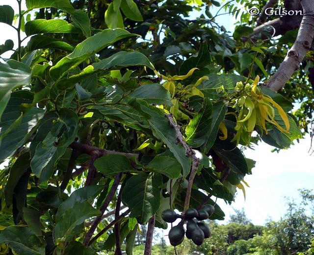 Ylang ylang fleur cananga odorata photo flore la r union n for Plante ylang ylang