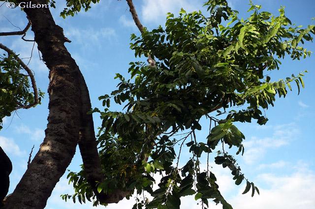 Ylang-ylang fleur feuille Cananga odorata
