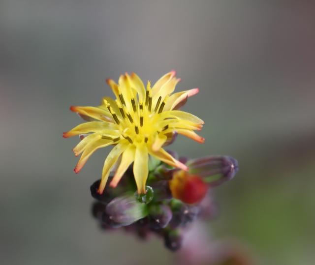 Youngia japonica, Lastron bâtard
