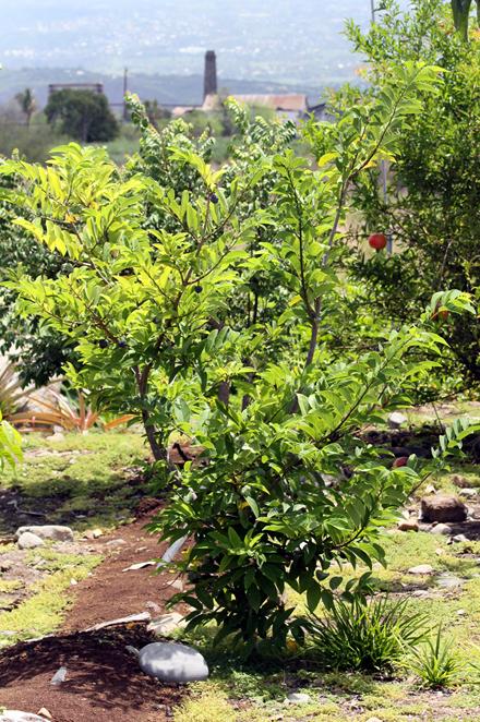 Attier ou pommier cannelle. Annona squamosa