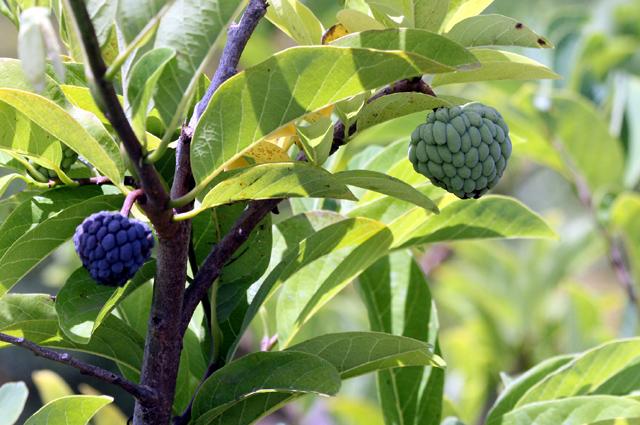 Zatte ou atte fruit du Attier ou pommier cannelle. Annona squamosa