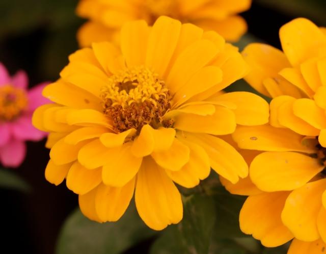 Fleur Zinnia