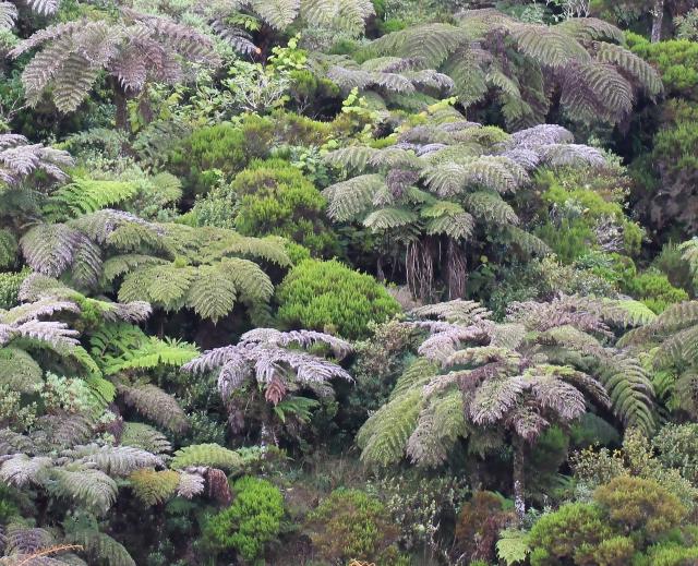 Fougères arborescentes de La Réunion