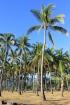 Palmeraie étang de Saint-Paul La Réunion.