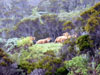 Vaches sentier du Piton de l'Eau