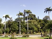 Palmier colonne Roystonea oleracea.