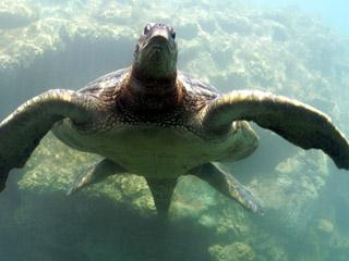 Tortue à Kélonia centre d'études des tortues Saint-Leu île de La Réunion.