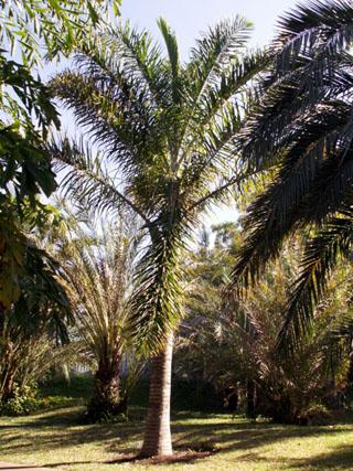 Palmier par exotica île de La Réunion